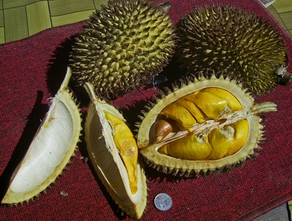 The Durian Fruit | Things That Stink