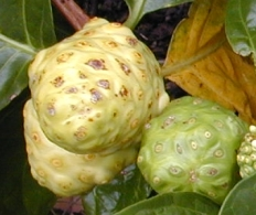 Noni, the Vomit Fruit